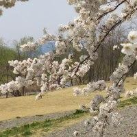 やっぱり春は桜!