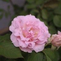 もう一度 ピンクアナベル +クレオメ・セニョリータ*
