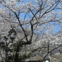 桜三昧の一日🎵