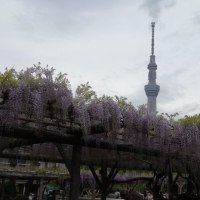 WISTERIA IN THE KAMEIDO