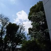 アメリカ花水木が翻る、夏に近づく空
