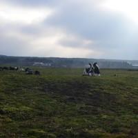 朝霧高原の牛
