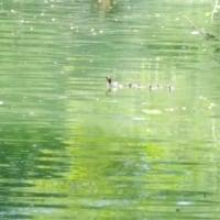 井の頭池 カイツブリ