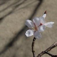 さくら便り2016:二季咲き性のサクラ(一重咲き)・・・
