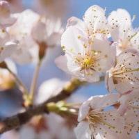 桜見つけました