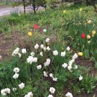 咲き誇る北海道の春の花