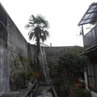 棕櫚の木を切る