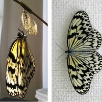 オオゴマダラ蝶は無事に羽化