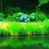 梅雨の晴れ間の水生植物園