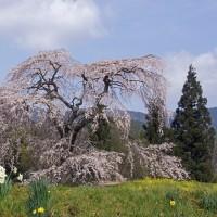 与一野の枝垂れ桜 170415