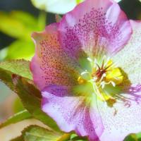春の庭・・・ピンクの・・・クリスマス・ローズ・・・が咲きました
