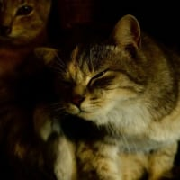 山田さんちのネコ シカ撮影再び不発