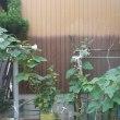 家庭菜園 平成29年7月19日(水)