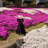 ゴールデンウィーク 芝桜