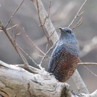 鳥撮り散歩(3/19,3/20) 2・・・