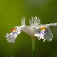 投稿こぼれの花