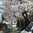 満開を迎える前に早くも桜が散り始め