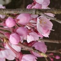 美しい垂れ桜