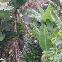 イオン商品券とハンコと野良バナナ