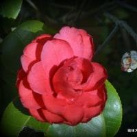 平良幸春花の写真集 ☆自宅の庭で咲いている椿