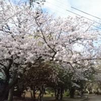 泉佐野市末広公園の桜と大相撲泉佐野巡業
