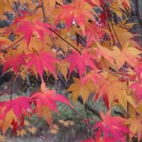 (楽書き雑記「紅葉とサクラを楽しむ=愛知県緑化センター・昭和の森に立ち寄ってきました」)