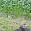 芦野公園の蓮池
