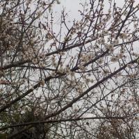 """春は城陽から """"観梅客第二号""""いらっしゃい!"""