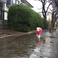 雨でお手手ダメ。耳も赤かった。
