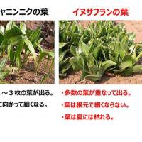 食用そっくり有毒植物、10年11人死亡!