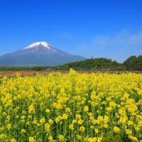 富士山とキカラシの花