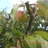 梅の実がまだ残っていました