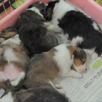 シェットランドシープドッグの子犬がいっぱいいます