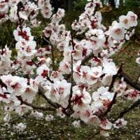 メモ帳709ページ目 梅の花にも数々あれど・・・