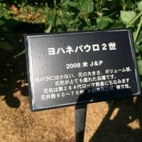 錦江湾公園のばら