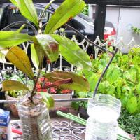 ネペンテス栽培記 292 今日から始める挿し木増殖 保存版
