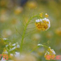 雪と花 ナノハナ