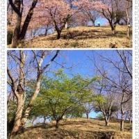 里桜が散った