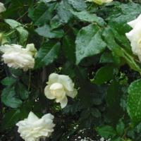 白で魅力的 ツルバラのイクセクローンスペリオン