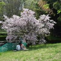 四季折々791  片倉城址公園の桜