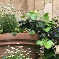 花壇とカラス。。賢いカラスは面白い。