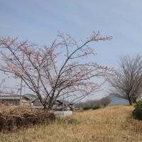 長良川堤の早咲桜