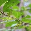 「コクサギ」名前の云われが小さな臭い木で小臭木!花の種類!