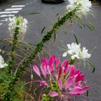 歩道に咲く花