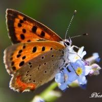 ベニシジミ蝶2