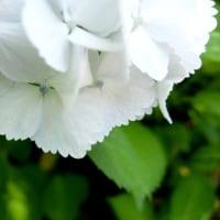 紫陽花を愛でる~白~
