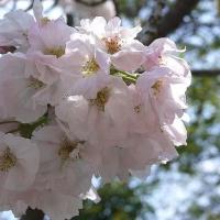 白野江植物公園(4月18日)