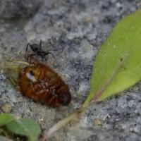 力持ち(蟻)