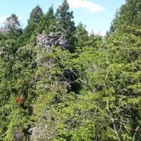 斑尾高原、新緑の森