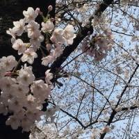 桜 2017.4 その2
